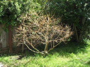 lemon tree now