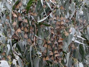 Monarch butterflies, Monterey, California, Nov. 2011